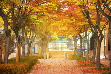 lots of tree with Yellow and red leaf line beside the walkway in the garden in autumn season in Seoul , south Korea
