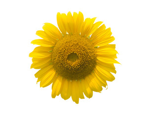 Sunflower flowers blossom
