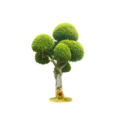 Tree bonsai green leaf.