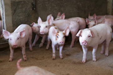 group of piglet