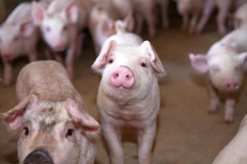 Piglet in the pigfarm