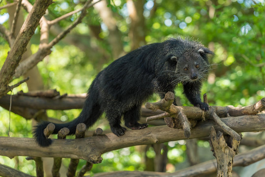 A Binturong stand on the tree branch.