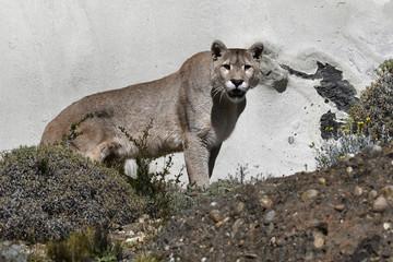 Pumahannen härskar i Patagonien.