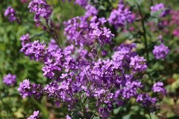 Hesperis matronalis, a purple leafed wildflower