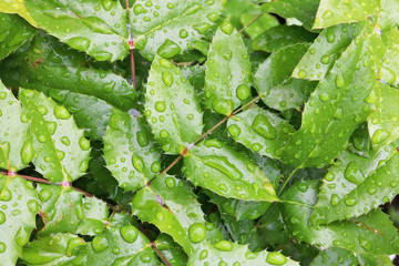 Bush Holly green  leaves with big rain water drops