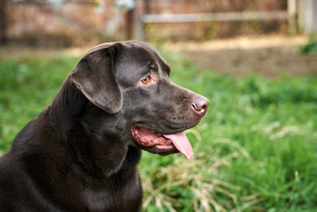 The dog looks away, the labrador with his tongue hanging out