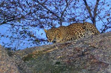 Leopardhonan som lämnat sin skyddande grotta i indiska Lundala, Rajasthan, ser lugnt på fotografen. .Foto: Jan Fleischmann