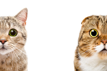 Portrait of a Scottish Fat Cat and Scottish Fold cat, half face, isolated on a white background