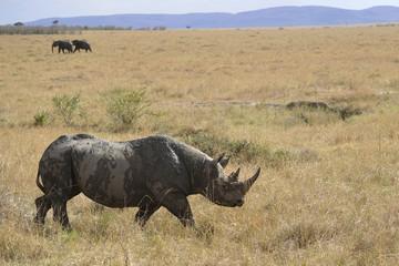 Den hotade och skygga spetsnoshörningen vandrar ut på den östafarikanska savannen.