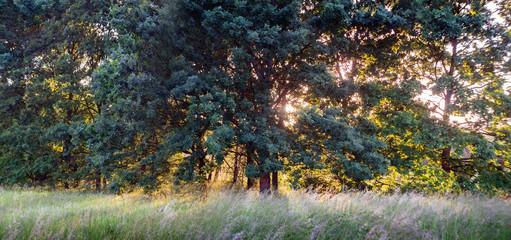 Summer landscape with oak trees