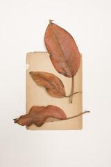 Herbarium  - Sangregado Blatt