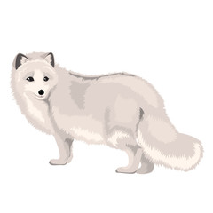 Vector Illustration Arctic Fox