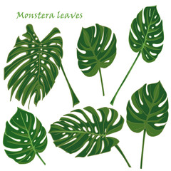 Set tropical monstera leaves. realistic drawing in flat color style. isolated on white background.