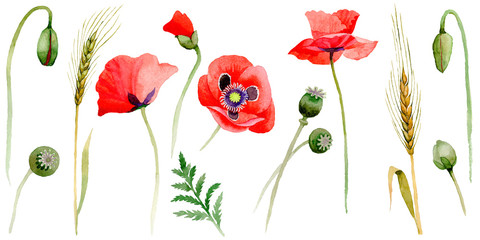 Wildflower poppy flower in a watercolor style isolated.