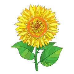 Vector stem with outline yellow Sunflower or Helianthus flower and green leaves isolated on white background. Floral elements in contour style with ornate open Sunflower for summer design.