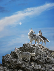 Three wolves sing their solemn song - howl