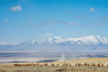 MONGOLIA - 22 MAY, 2017:  Girl shepherd sitting on horse and shepherding herd of sheep in prairie with snow-capped mountains on background