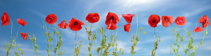 Obraz Panorama made of flowering red poppies against the blue sky. - fototapety do salonu