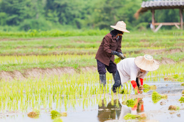 asian farmer working rice planting in the field in Thailand