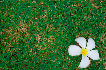 White  Plumeria on green grass background