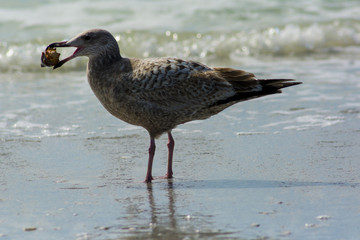 seagull with shell in mouth by surf