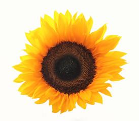 Sonnenblume, Blüte, Sunflower, Makro, Freisteller