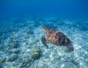 Sea turtle underwater photo. Snorkeling with tortoise. Wild green turtle in tropical lagoon.