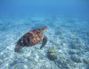 Sea turtle swims underwater. Snorkeling with tortoise. Wild green turtle in tropical lagoon.