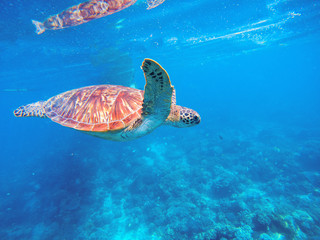 Green turtle in blue water. Wild green turtle in tropical lagoon. Tropical marine wildlife.