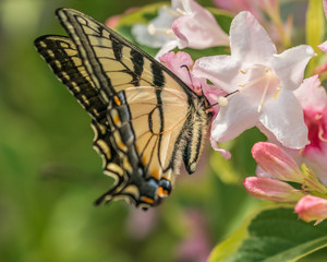 Eastern tiger swallowtail butterfly in spring in New Hampshire garden.