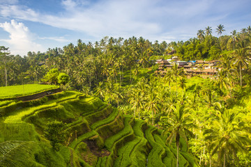 Bali, Indonesia, South East Asia. The paddy fields at the Tegalalang Rice Terrace. Wall mural