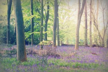 Bluebells growing on an english woodland floor