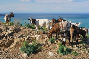 Herd of goats with the Mediterranean sea in background, Pyrenees Orientales, Vermilion coast, Roussillon, south of France
