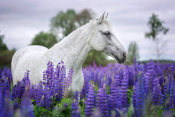 Portrait of an arabian horse among blooming lupine flowers.