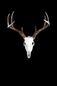 Whitetail Deer Buck Antlers and Skull