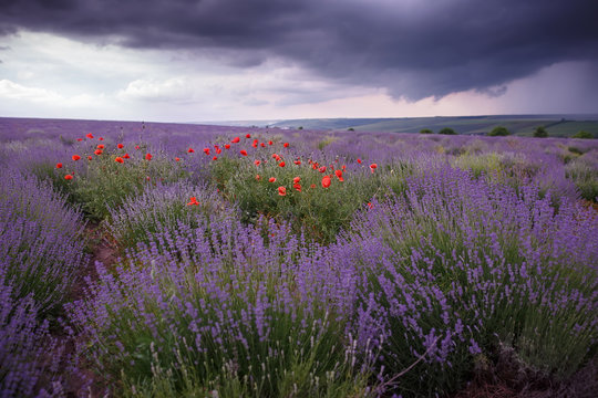 A field of wild lavender, grass and poppies