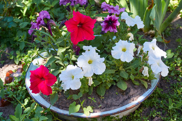 A flower bed with blooming magical colorful petunia in a summer garden/Petunia flowers at a flowerpot