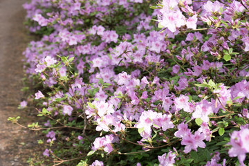 Purple/white rhododendron flowers with green background in park.Rhododendron blossoms white lace background. Magic garden. Idyllic.