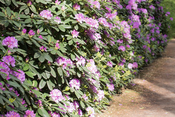Purple/white rhododendron flowers with green background in park.Rhododendron blossoms white lace background. Closeup,beautiful evergreen rhododendron outside in garden park,ideal for gardening, nature
