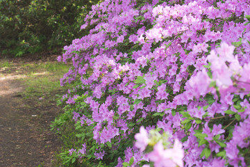 Purple/pink rhododendron flowers with green background in park.Rhododendron blossoms white lace background. Closeup,beautiful evergreen rhododendron outside in garden park, ideal for gardening, nature