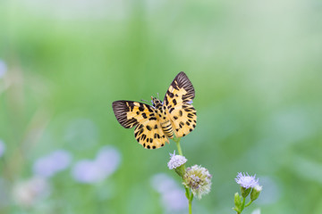The yellow butterfly (Zigzag Flat) it find breakfast in green meadow.
