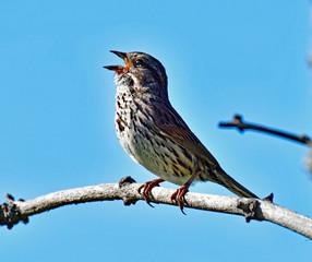 Sparrow Singing with beak wide open