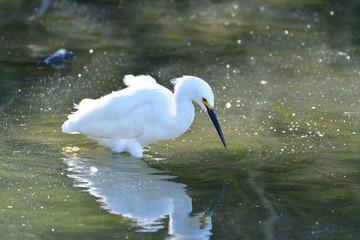 Snowy Egret in Calm Water