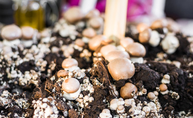 Button mushrooms growing from fungus mycelium at a street food market