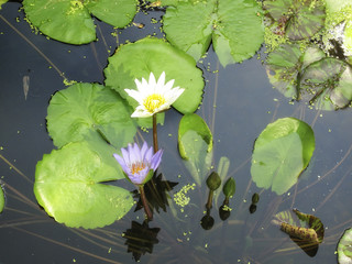 close up shot of water lily lotus