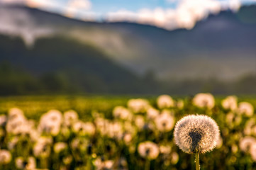 dandelion at foggy sunrise in mountains