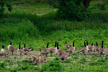 Canadian geese and a greylag goose at Duddingston Loch, Scotland