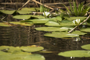 Beautiful white waterlily in the Danube Delta, Romania, on summer day