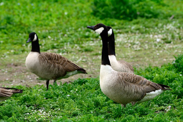 Canadian geese at Duddingston Loch, Scotland