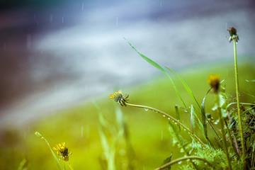 Grass in the rain near a puddle